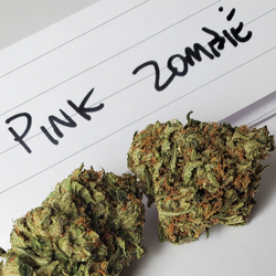 Pink Zombie BC HIGH LEVEL