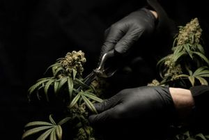 How to trim your cannabis plants