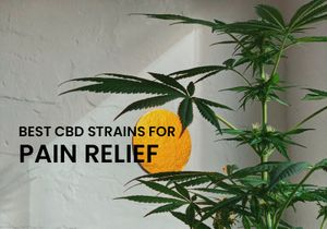 The Best CBD Strains To Help You With Pain Relief