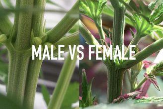 Male vs Female Cannabis Plant